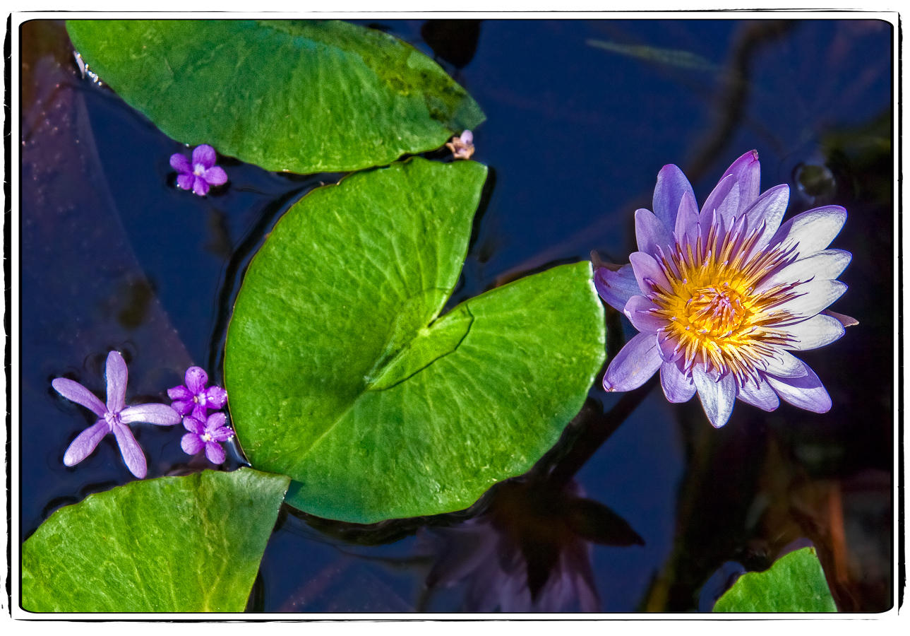 LOTUS, WATER LILY, & ORCHID | Photography Websites